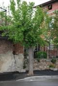 Поредното безумие! Асфалтираха дръвчетата на цяла улица в Харманли!